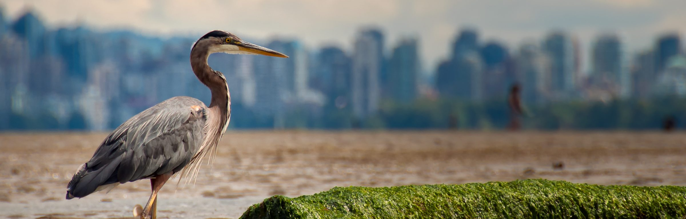 Heron standing profile view with log while fishing and Vancouver skyline in the distance.