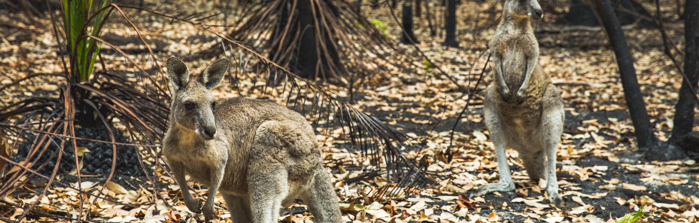 Kangaroos in burnt forest after bushfires swept through during an Australian summer.